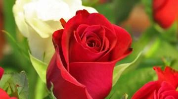 Plagas y enfermedades de los rosales