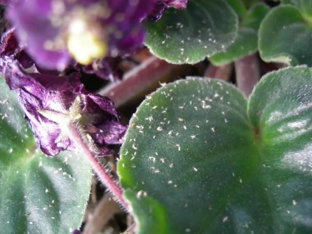 Pulgones o áfidos Violeta Africana