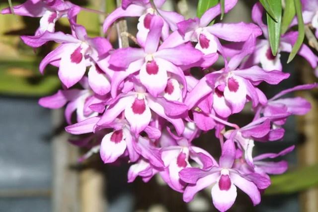 Dendrobium flor