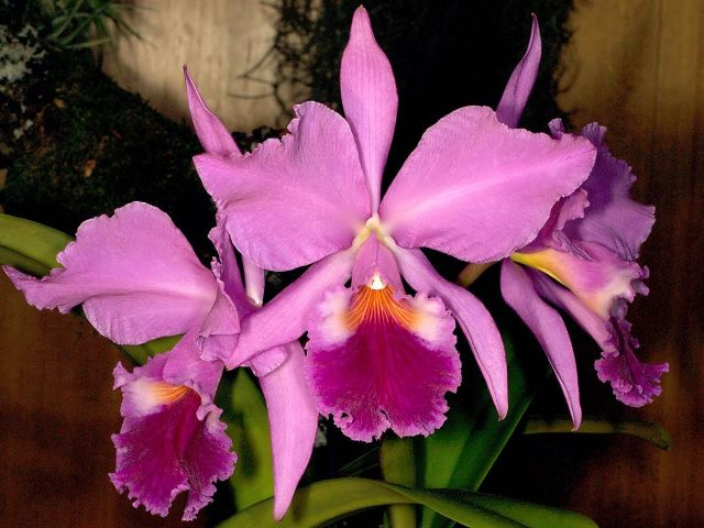 Cattleya orquidea para cultivar en casa