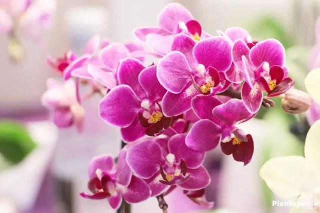 Phalaenopsis flor