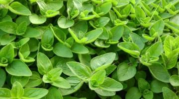 Cultivo y propiedades de la mejorana