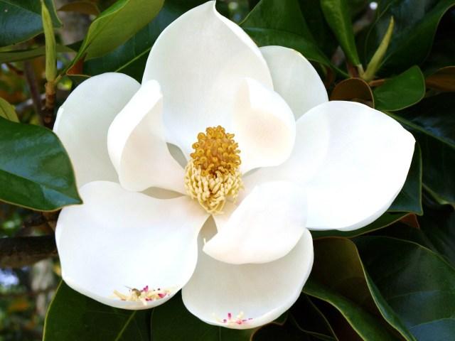 Magnolia flor para regalar