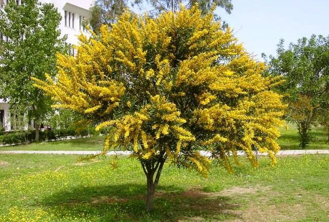 Acacia, los mejores árboles de sombra