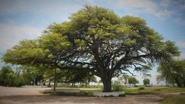 Algarrobo, los mejores árboles de sombra