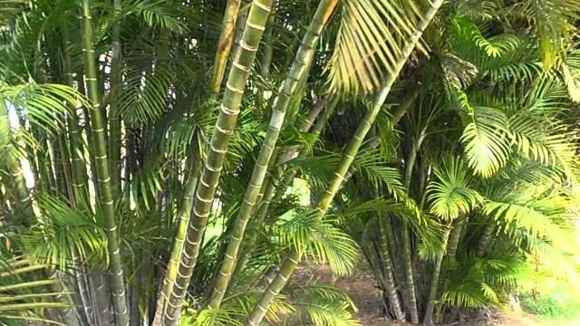 Palmera bambú