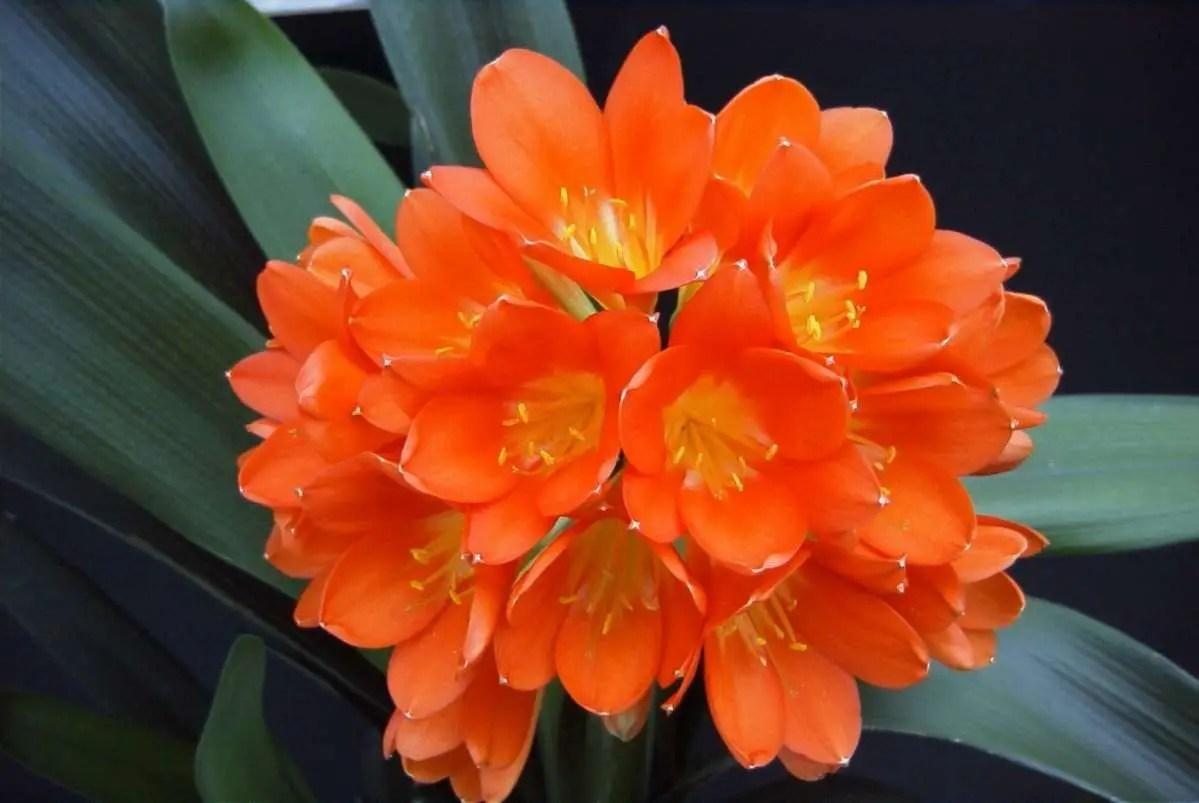 Plantas bulbosas ornamentales