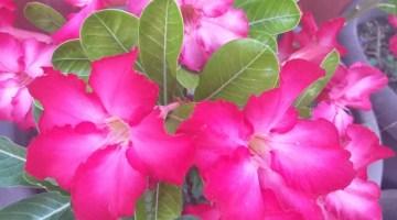 Cuidados de la Rosa del Desierto o Adenium
