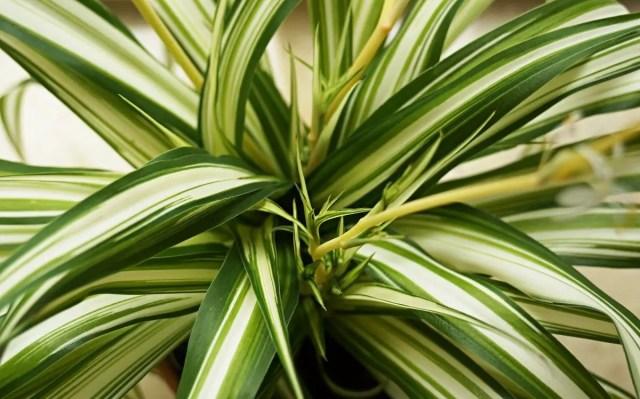 Cinta o Mala madre (Chlorophytum comosum)