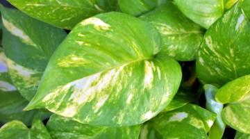 Potus (Epipremnum aureum)