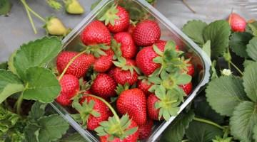 Cómo cultivar fresas en casa desde semillas