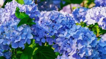 Como hacer florecer las hortensias