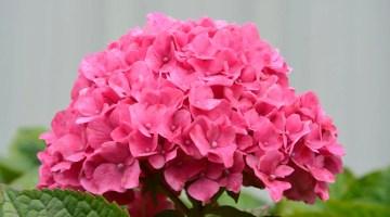 Cómo hacer florecer las hortensias