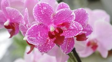 ¿Por qué no florecen las orquídeas?