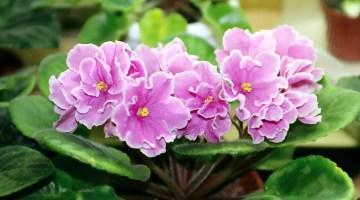 10 Preguntas frecuentes sobre el cuidado las violetas africanas