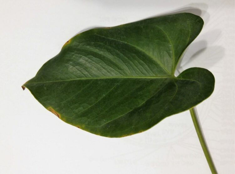 Xantomonas en Anthurium