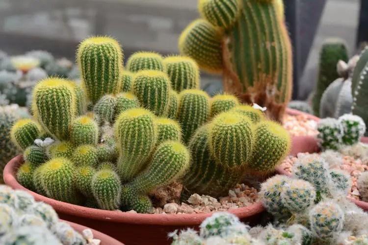 Cactus en maceta para oficinas