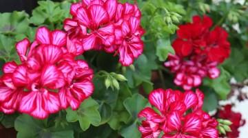 Qué hacer para que los geranios florezcan