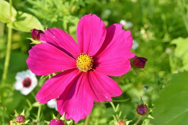 Cosmos flor