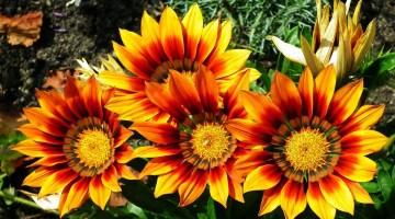 Flores bonitas fáciles de cuidar en la casa y el jardín
