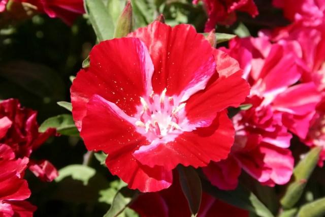 Godetia flores decorativas
