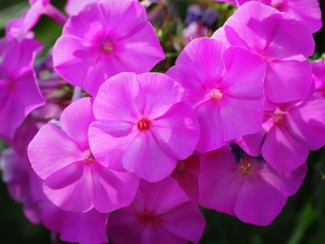 Phlox flores ornamentales decorativas
