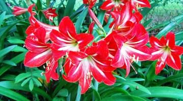 Amarilis cuidados y consejos de esta planta de hermosas flores