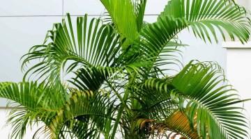 Cuidados de las palmeras de interior, consejos fáciles de seguir
