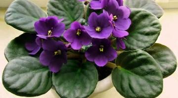 Violeta africana o violeta del Cabo
