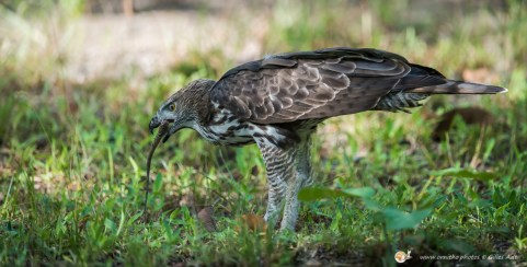 l'aigle huppé - © Gilles Adt