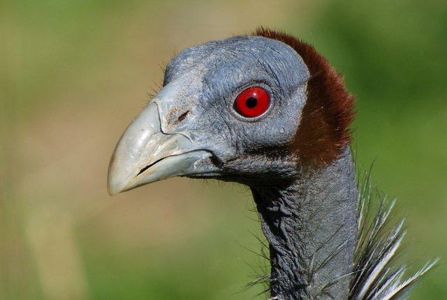 red-eyed bird