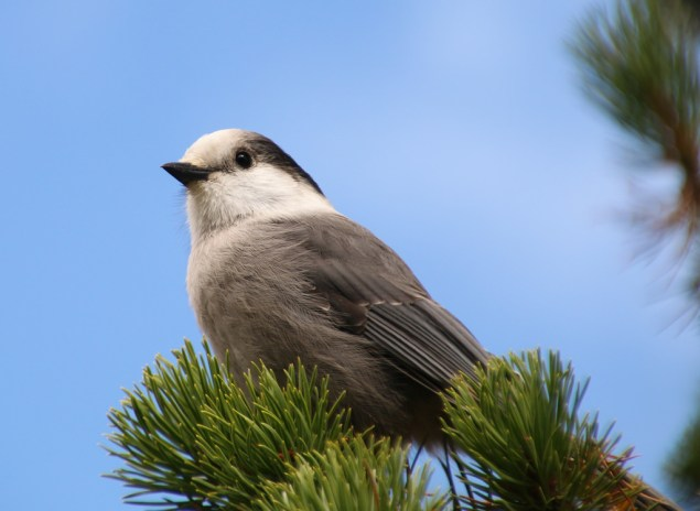 The Gray Jay Becomes The Canada Jay Ornithology