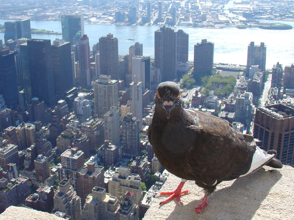 Pigeon at Empire State Building