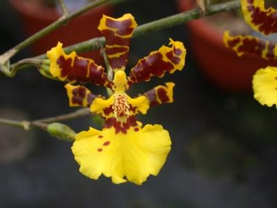 Orquídeas Oncidium