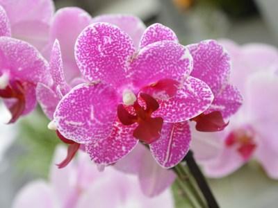 Orquídea fucsia
