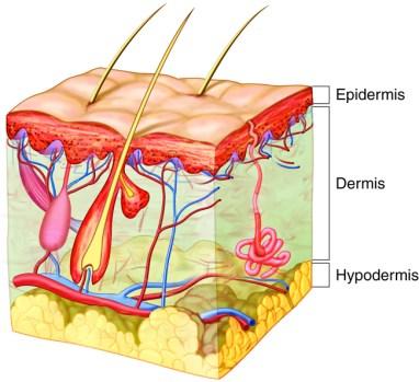 Layers of skin, transepidermal water loss