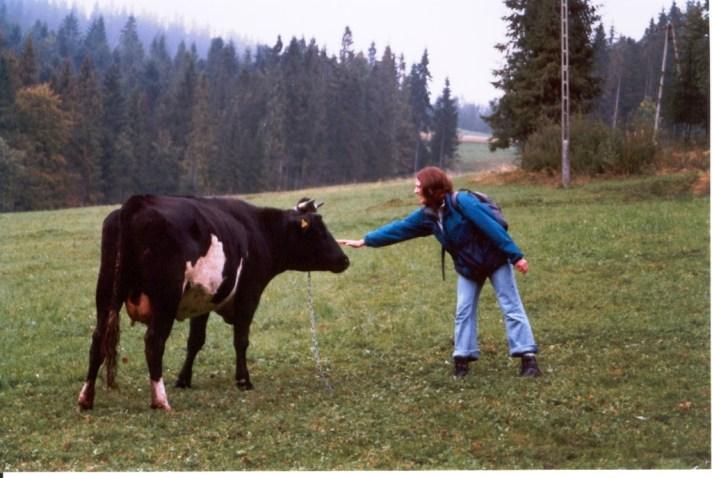 Krowy_1