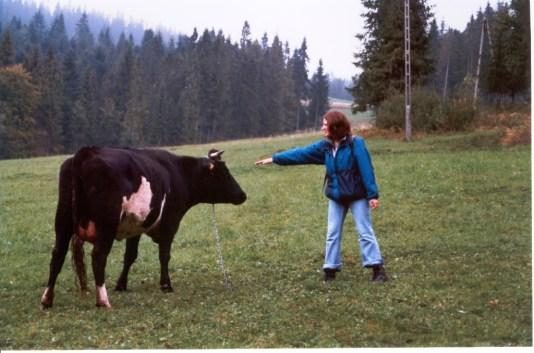 Krowy_2