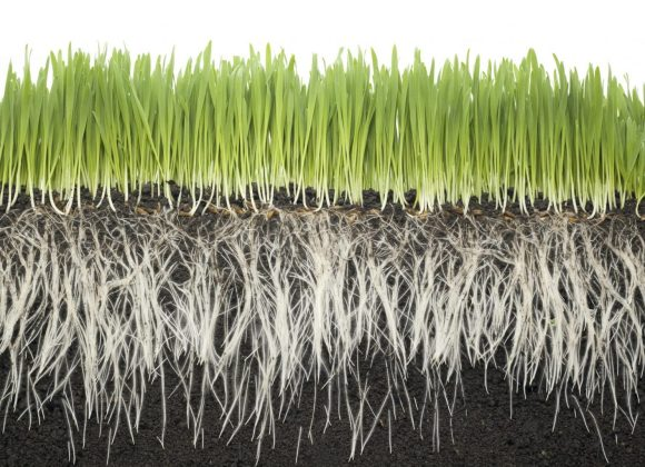 Dry Times Lead to Deeper Roots