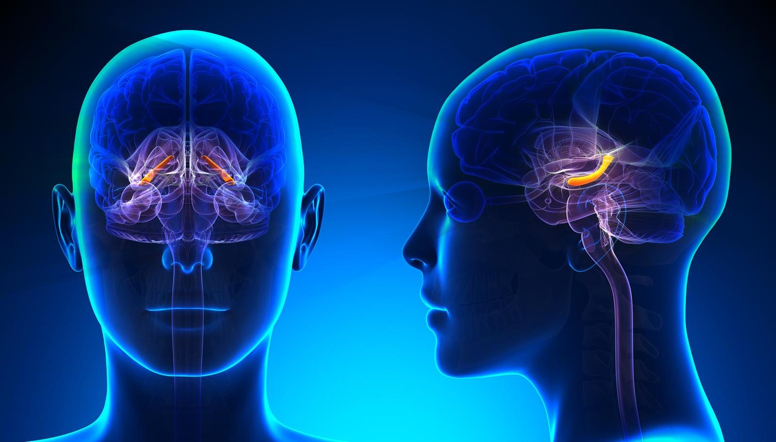 Female Hippocampus Brain Anatomy – Blue Concept