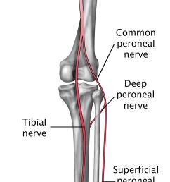 nerves in the lower leg and foot [ 1092 x 2450 Pixel ]