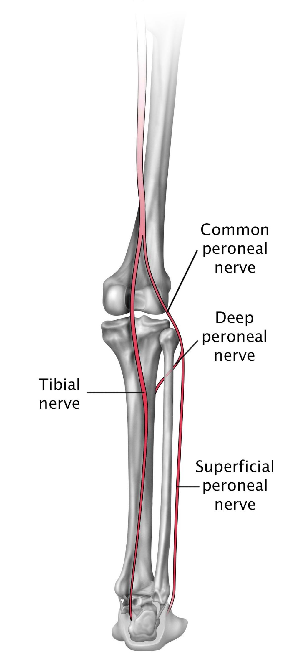 medium resolution of nerves in the lower leg and foot