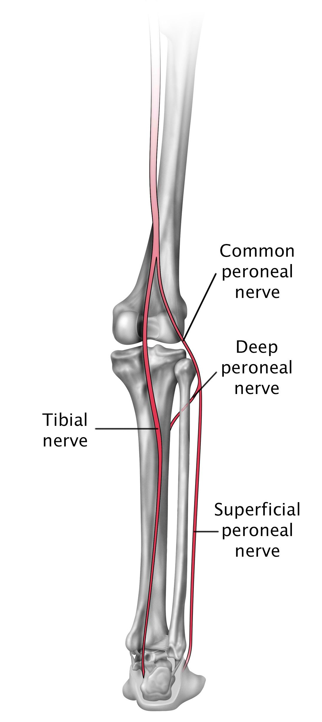hight resolution of nerves in the lower leg and foot