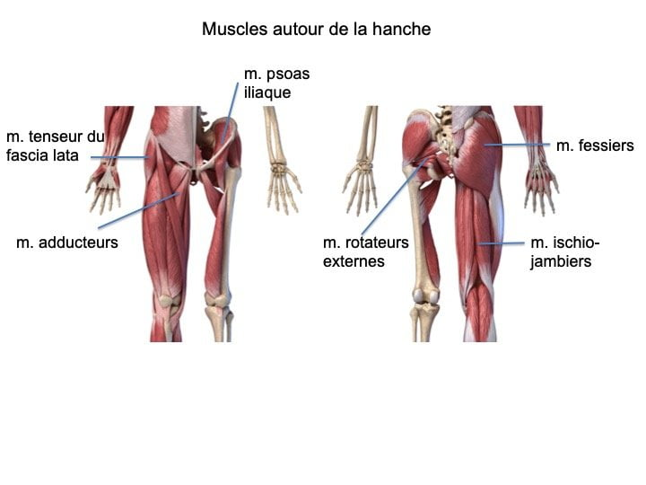 Hanche anatomie