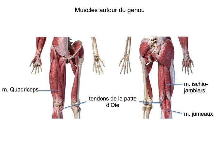 muscles autour du genou