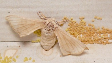 Photo of Cerapedics uses silk from a moth to create new spine bone graft