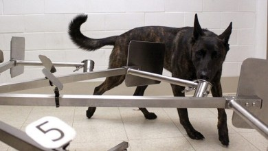 Photo of Dogs are now being trained to smell coronavirus in US patients