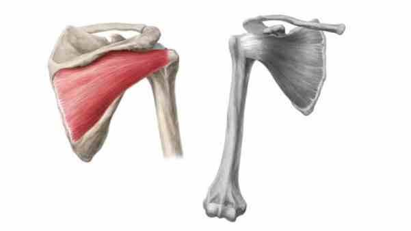 Músculo infraespinhoso do manguito rotador