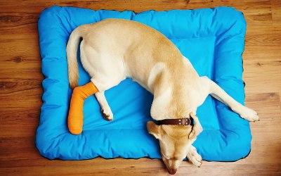 Recuperando-se da Cirurgia Ortopédica em Cães