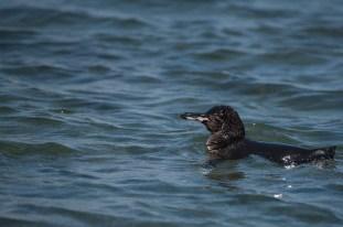Galapagos Pinguin - Isla Isabela